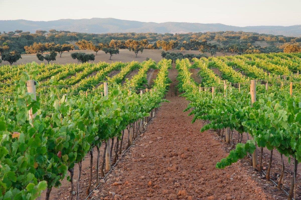 Vineyard in Alentejo (c) Wines of Alentejo
